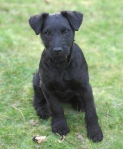 patterdale-terrier-03